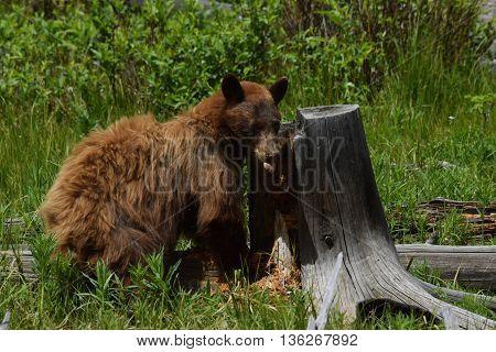 a cinnamon colored black bear sticks out it's tongue as it tears apart a stump