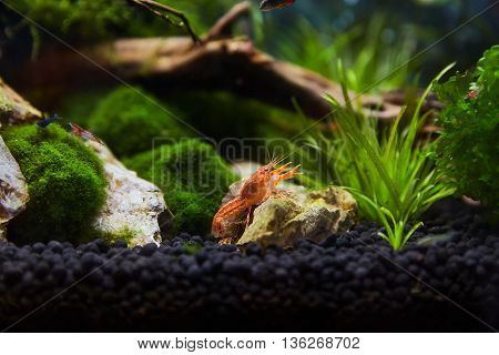 Mexican orange freshwater crayfish in the aquarium selective focus and space for text