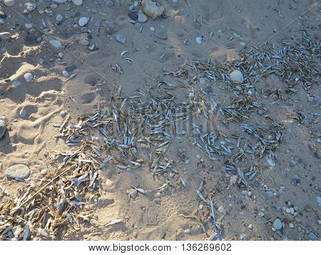 Alewife or Minnows fish washed up along beach in spring at Wind Point Lighthouse in Racine, Wisconsin area