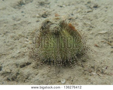 Green sea urchin grazer on the sand at the coral reef