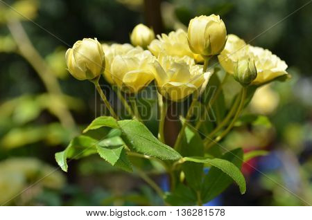Banksia rose flowers of pale yellow.Close up of yellow rose Rosa banksiae 'Lutea'.Bush with little yellow flowers.