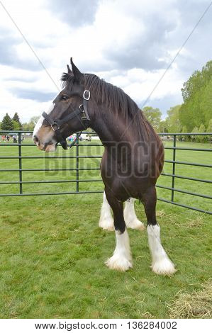 A clydesdale horse stands under storm clouds