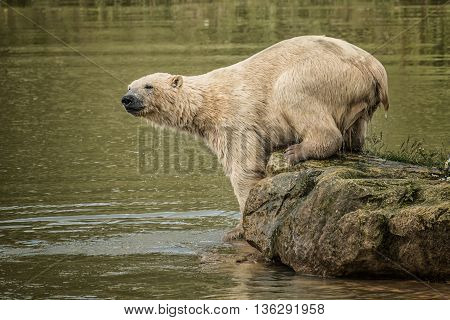 Image of a polar bear just emerged from the water and dripping wet standing on a rock and looking into the lake