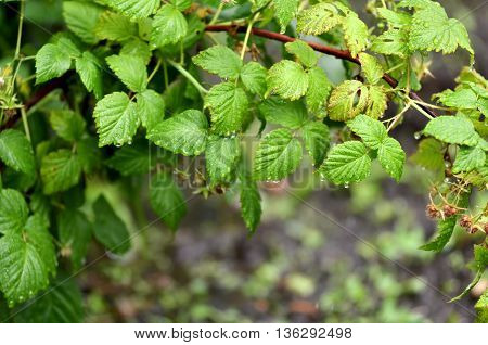 Raspberry (rubus L.) is a deciduous shrub or shrub of the family Rosaceae.Shrub with green raspberries.