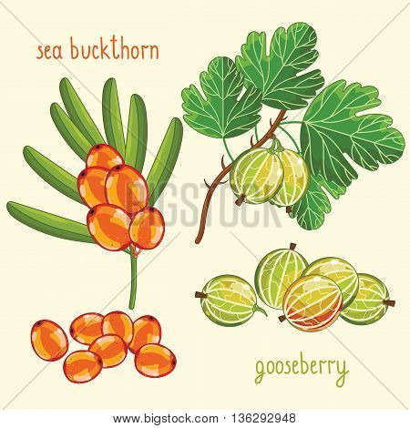 Set of berries mix vector isolated. Healthy eat. Sea buckthorn, gooseberry. Natural organic berries. Ingredients for a vegetarian meal. Sweet and ripe summer berries. Isolated sea buckthorn and gooseberry