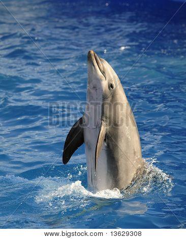 Bottlenose Dolphin.