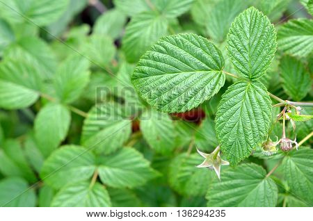 Raspberry (rubus L.) is a deciduous shrub or shrub of the family Rosaceae.Shrub with green raspberries.