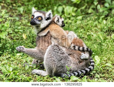 Ring-tailed lemur - Lemur catta - with cubs in the greenery. Animal scene. Beauty in nature. Animals playing.