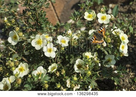 White flowerses with yellow stamen grow on background of green plants