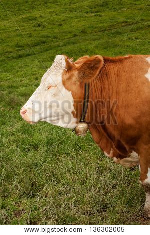 Head with closed eyes of a magnificent bull calf