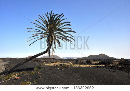 lonesome palm tree on barren volcanic landscape of spanish island Lanzarote
