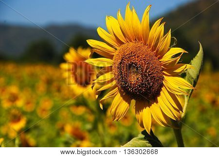 Yellow Sunflower On Blue Sky And Cloud Day