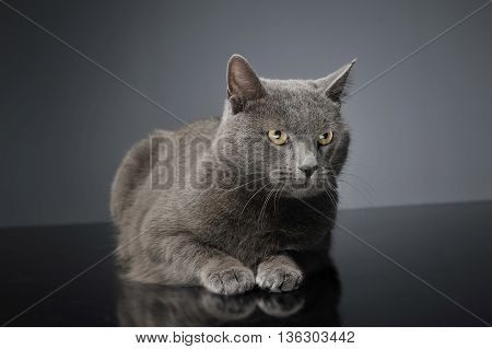 Blue Brit Cat In A Dark Studio