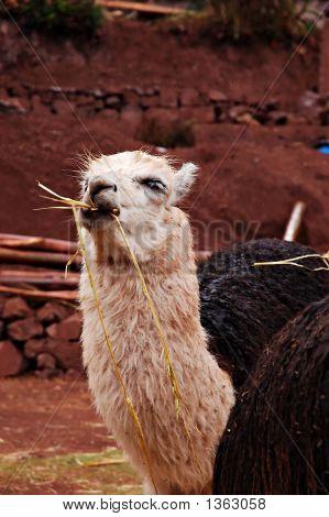 Alpaca Eating Hay