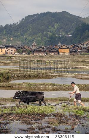 Zhaoxing Dong Village Guizhou Province China - April 8 2010: Cultivated fields in the countryside of China mountain farmer plowing the flooded rice paddy by using force the black bull.