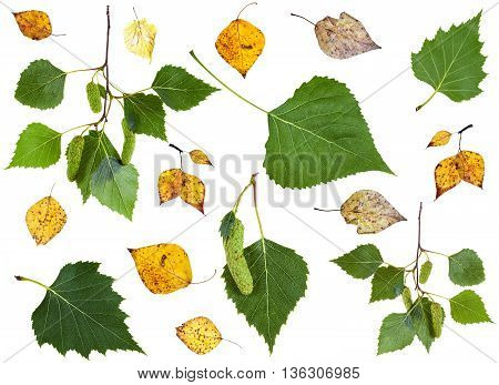 set of summer green and autumn yellow birch leaves isolated on white background poster