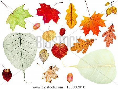 Set Of Dried Autumn Leaves Isolated On White