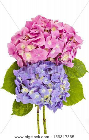 Colourful bouquet of pink and purple hydrangea flowerheads, Hydrangea macrophylla, isolated on white background