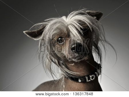 Chinese Crested Dog Portrait In Gray Background
