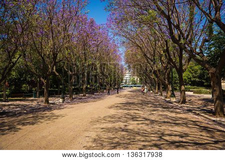 Beautiful Blooming Jacaranda Trees In Athens, Greece