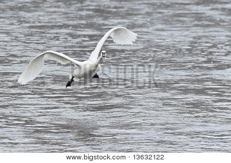 Trumpeter Swan (Cygnus buccinator) Coming In For A Landing