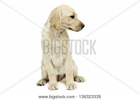 Puppy Labrador Retriever Sitting And Looking Sideways In A White Studio