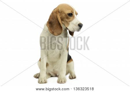Joung Beagle Sitting In A Studio Floor