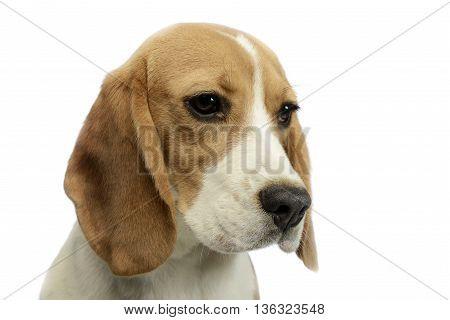 joung beagle portrait in a white photo studio