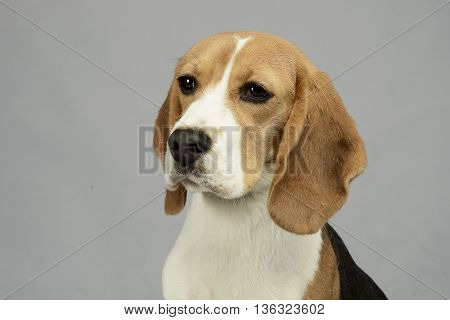 joung beagle portrait in a white photo studio