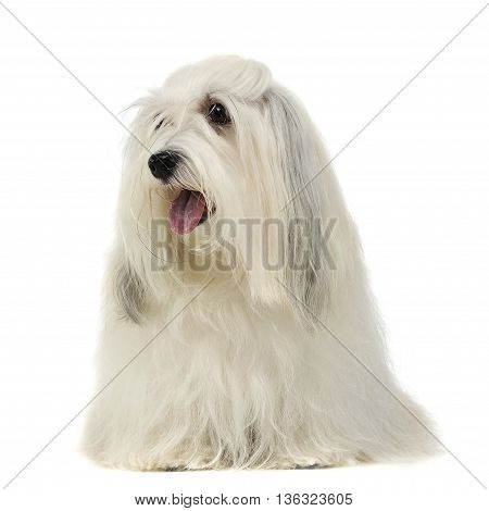 Lovely Long Hair Shi-tzu In A White Background