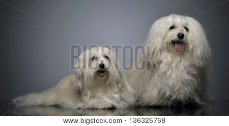 Two Lovely Shi-tzu Relaxing  In Gray Studio
