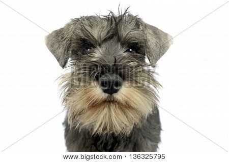 puppy schnauzer portrait in a white studio