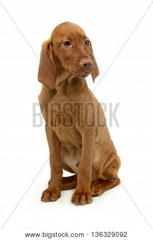 Puppy Hungarian Vizsla Sitting And Looking Sideways In A White Background