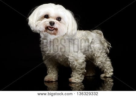 Shi-tzu posing in the dark photo studio