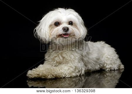 Shi-tzu relaxing in the dark photo studio
