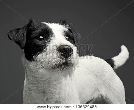 Parson Russell Terrier Looking Sideway In The Grey Photo Background