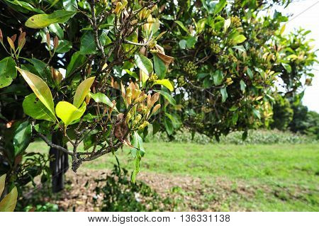 A Clove tree with unripe cloves in summer