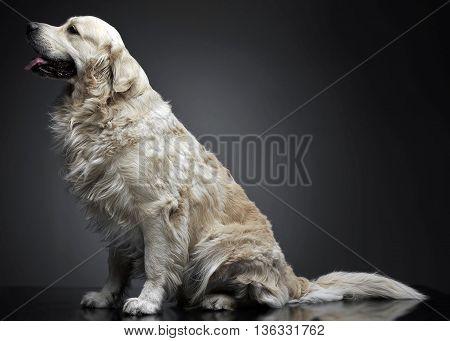 Golden Retriever Sitting In A Grey Photo Background