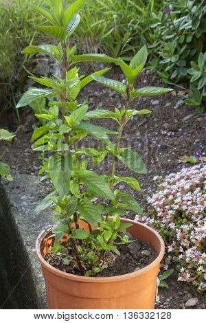 Mint growing in plant pot to keep it contained amidst garden.