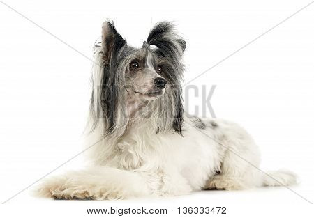 Chinese Crested Dog In A White Studio