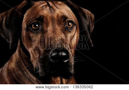 Beautiful rhodesian ridgeback in a dark photo studio