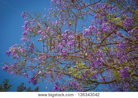Beautiful Blooming Jacaranda Trees In Athens, Greece