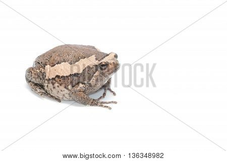 close-up  bullfrog big one on white background