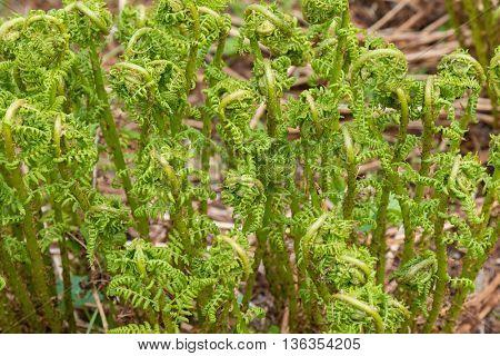 Closeup of Fiddleheads of unfurling Ostrich fern grown in the forest in Austria, Europe (Matteuccia struthiopteris)