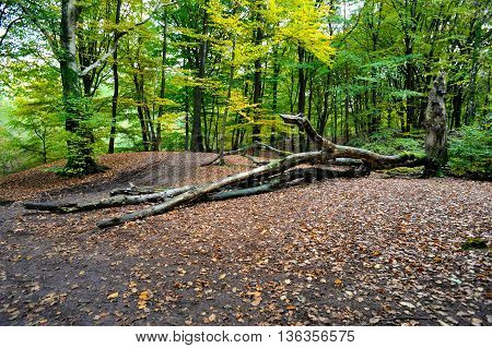 An early autumn forest scenery with fallen trees on the road from a forest in Netherlands