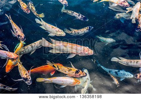 Various medium sized Asian pond fishes like gourami and kois fishes swimming in a large pond.