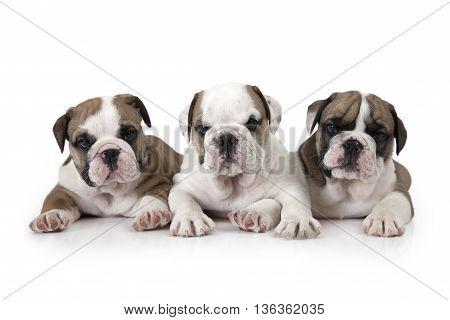 Portrait of three six weeks old English Bulldog puppies isolated on white background