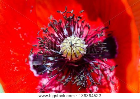 blooming red poppy flower close up portrait macro