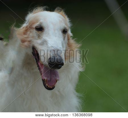 Fluffy Afghan hound with his mouth open.