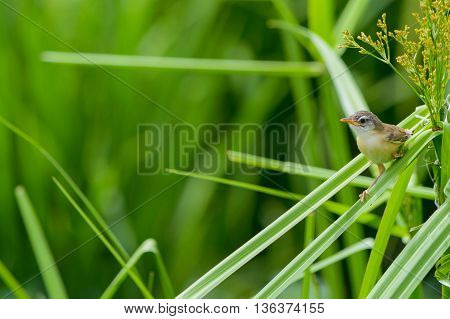 Wren bird perched on the leaves of rice in the rice fields. this photo is bird species Prinia inornata scientific name is Plain Prinia / White-browed Prinia / Plain Wren-Warbler / Brown Wren-Warbler.